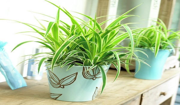 spider-plant Palm Indoor Houseplants on palm flowers, palm shrubs, palm trees, palm indoor seeds,