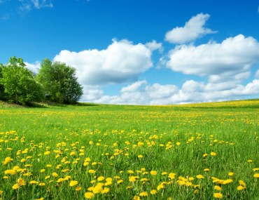 A Field Full of Yellow Spring Flowers