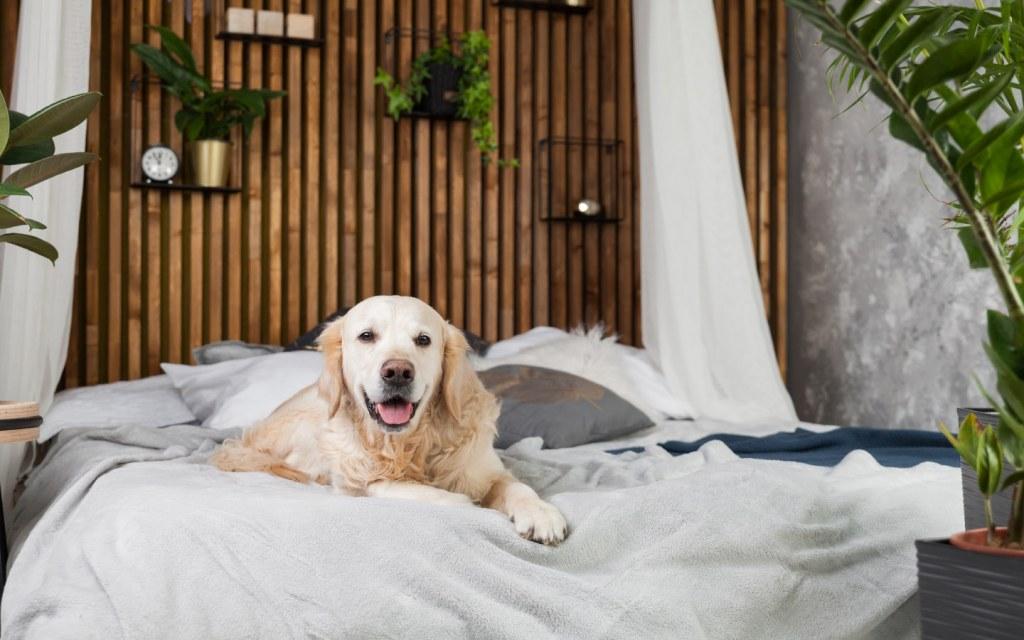 Golden retriever dog lying on pillows on bed