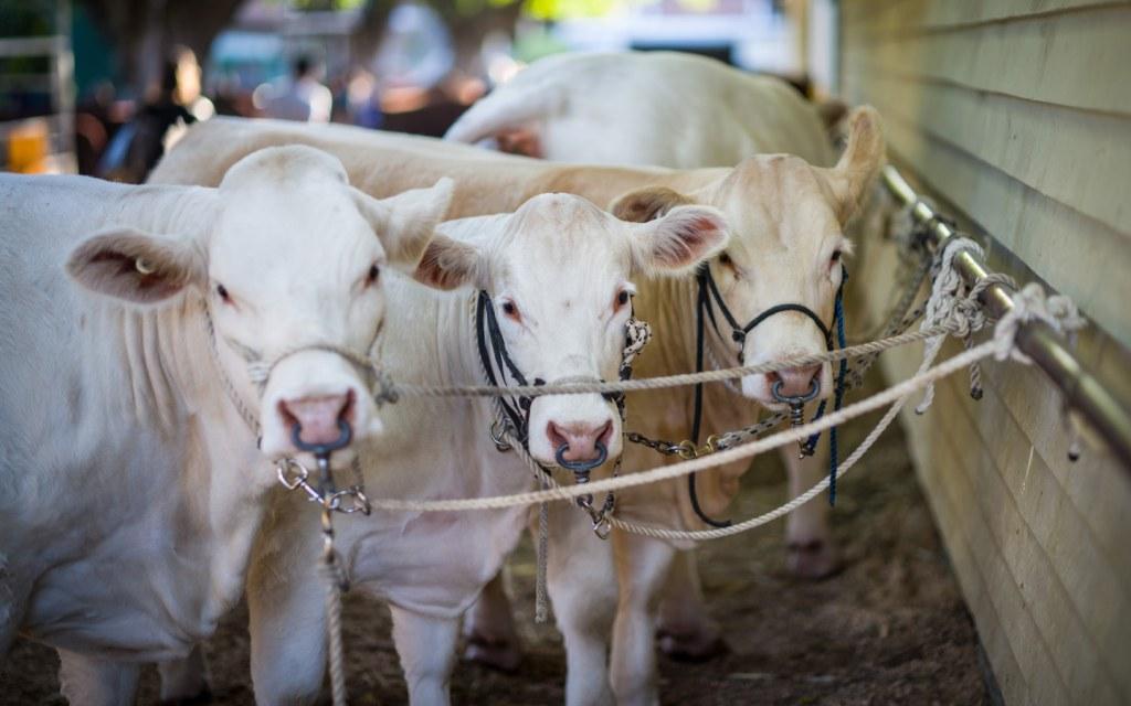 Cows on Display