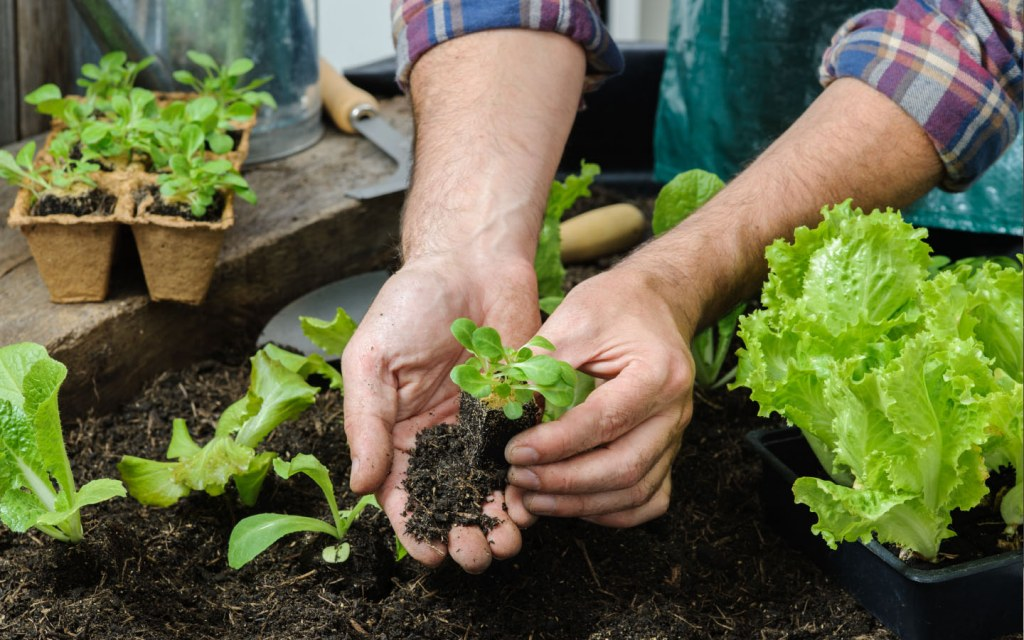 Person plants lettuce seedlings in a vegetable garden