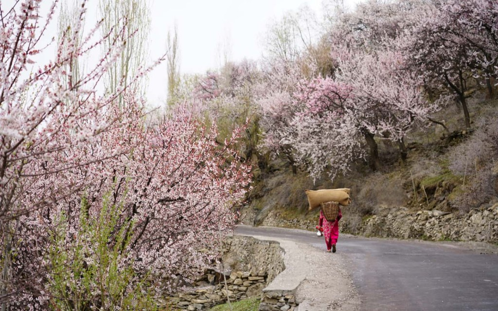 Woman walking through cherry blossom trees in Nagar