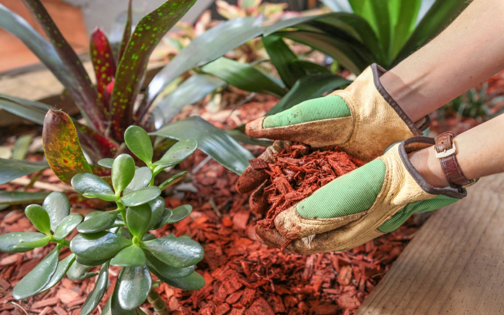 Mulching your fruit trees can lower the temperatures of your soil this summer