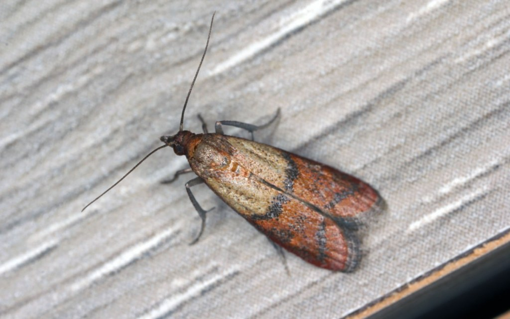 Indian Meal Moths are the most common in Pakistan