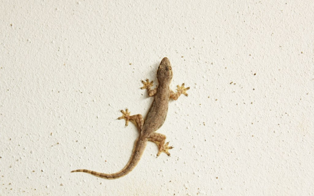 All lizards are harmful to human health and some of them can be poisonous too