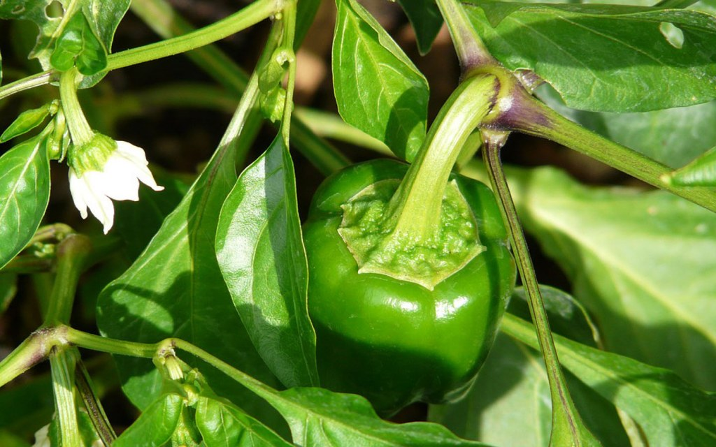 Capsicums can be grown in Kitchen garden on a balcony