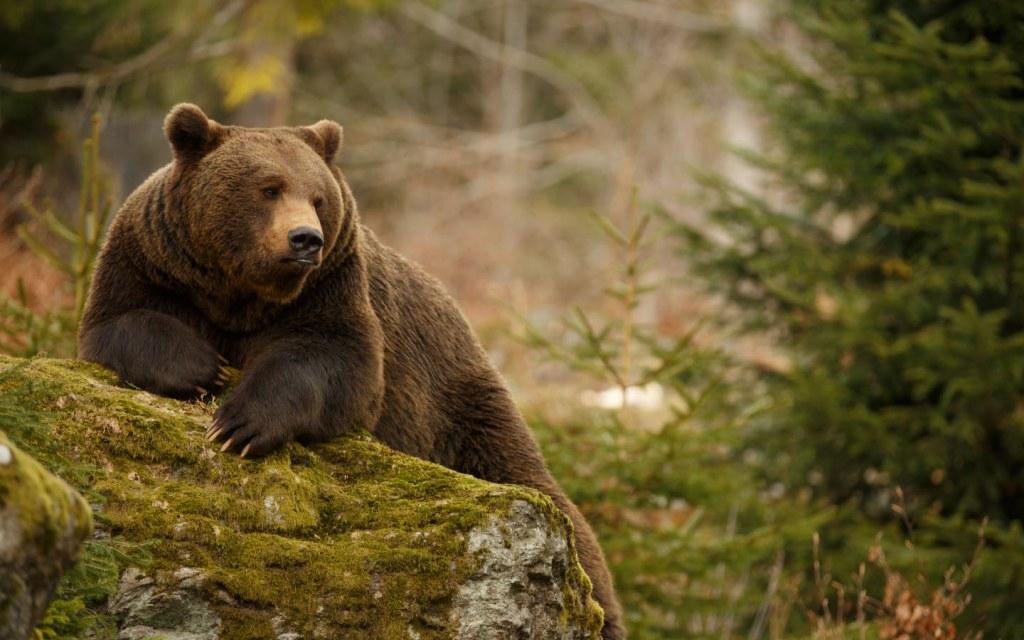 Himaliyan Brown Bear