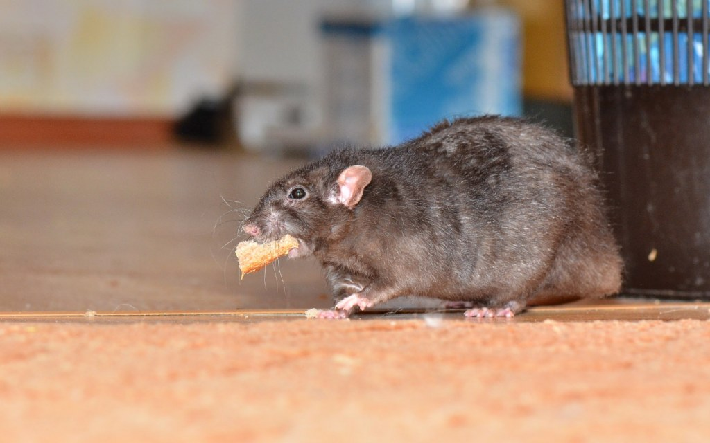 Rats will steal food from around the house to take back to their nests