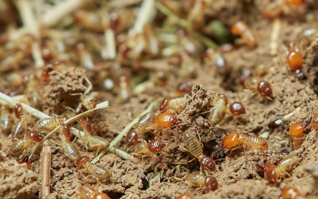 ways to get rid of termites at home