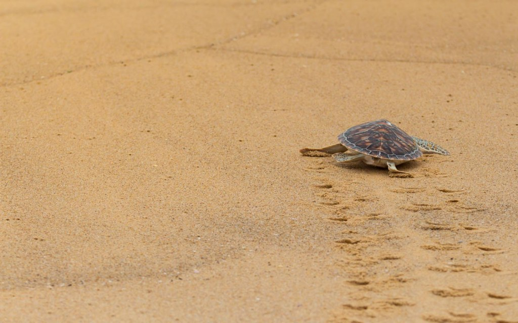 turtle beach is a nesting ground for green turtles
