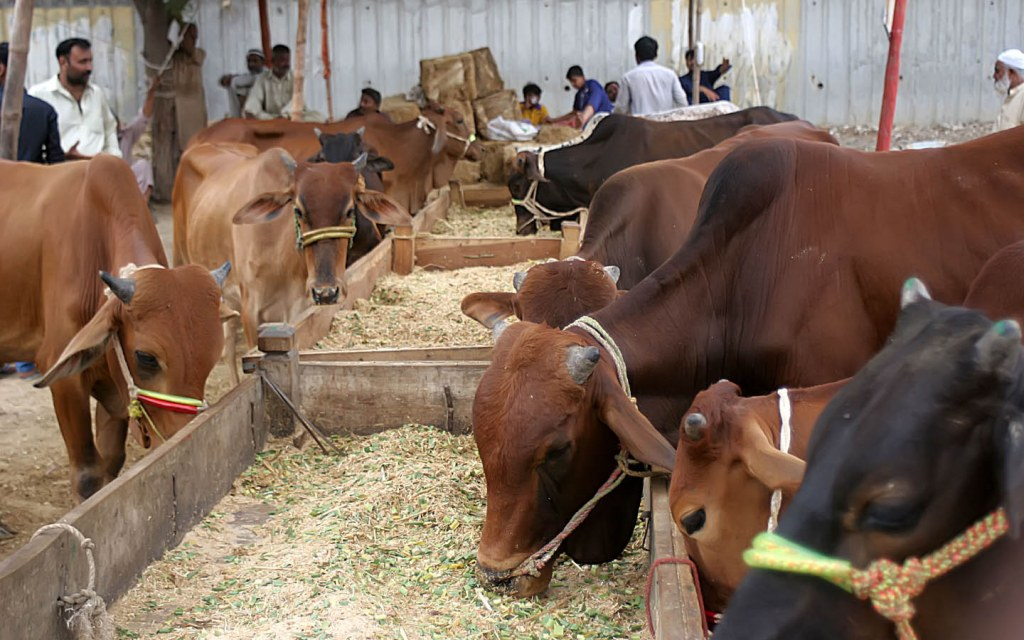 Cow, Goats, Camels and Sheep are sold are sacrificial animals for Eid ul Adha