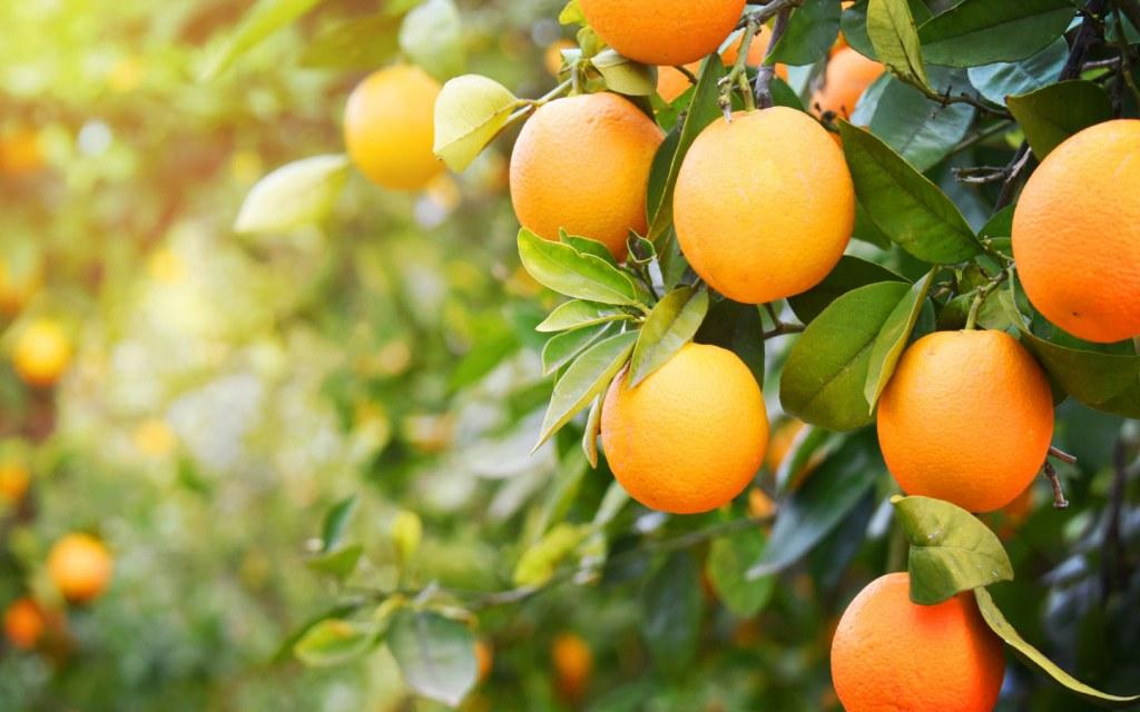 Pakistan produces best quality of oranges
