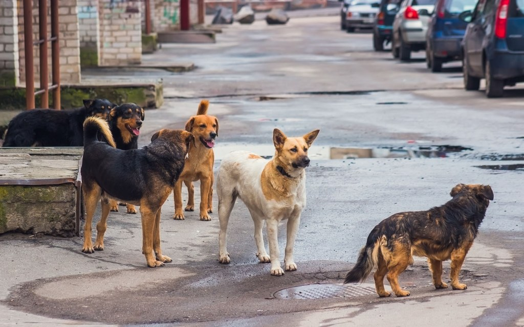Stray dogs are a huge problem