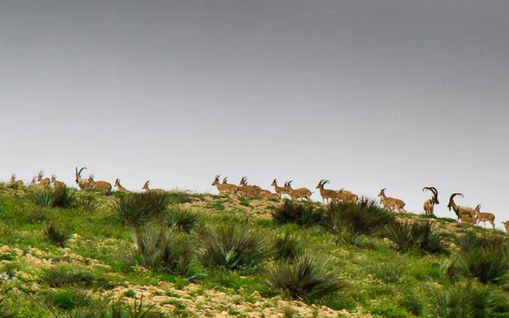Sindh Ibex is commonly found at Kirthar