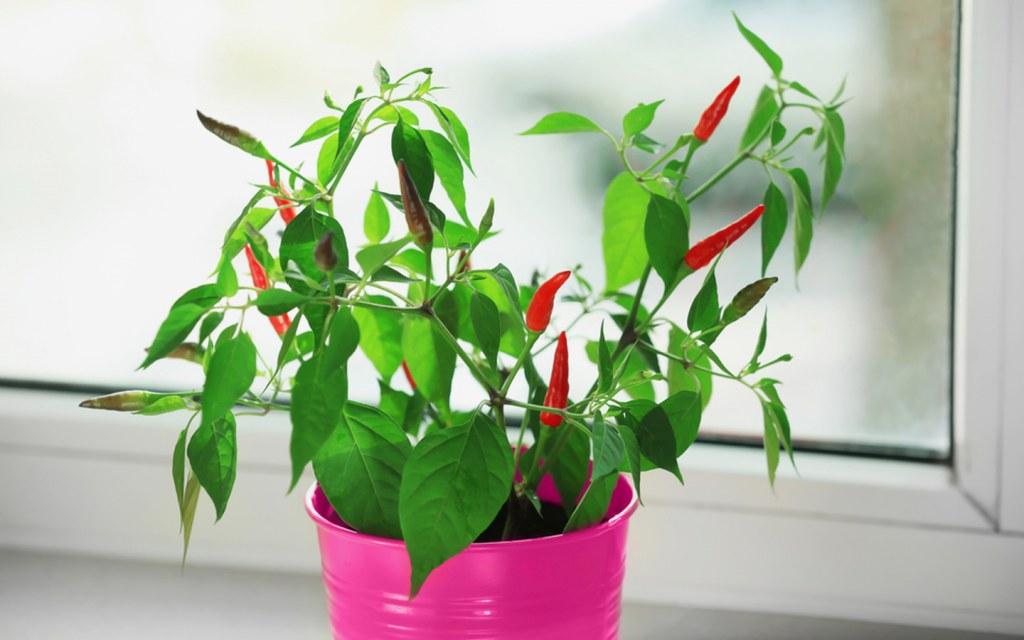 Green chillies in your herb garden