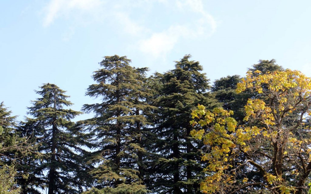 Subtropical Pine Forests are found in Himalayan Ranges