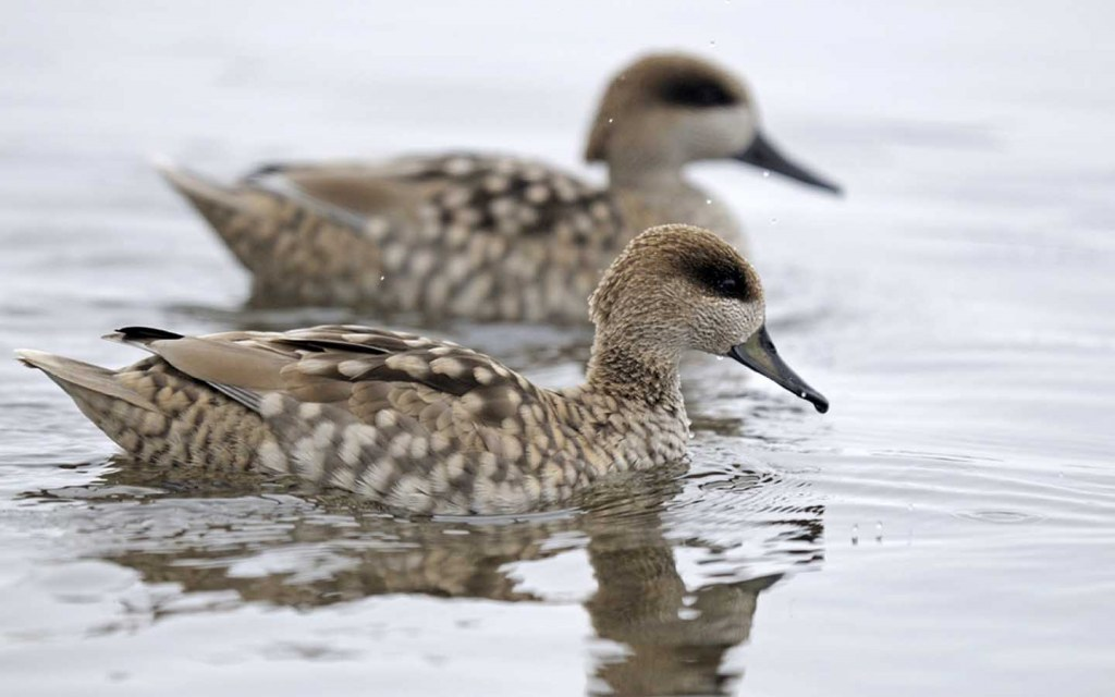 Marbled duck is found in Chashma and Taunsa Barrage Dolphin Reserve